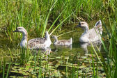 Three geese in pond — Stock Photo