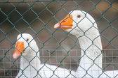 Two geese in cage — Stock Photo
