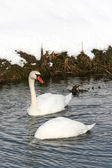 Two swans in water — Stock Photo