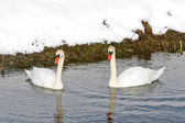 Two swans swimming in lake — Stock Photo