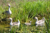 Four geese in swamp — Stock Photo