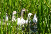 Geese in nature — Stock Photo