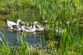 Geese in pond — Stock Photo