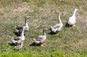 Geese on meadow — Stock Photo