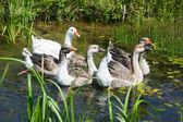 Geese swimming in pond — Zdjęcie stockowe