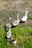 Geese walking out of pond — Stock Photo