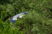 Grey heron flying in forest — Stockfoto