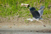 Grey heron flying in nature — Stockfoto