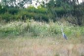 Grey heron standing on meadow — Stockfoto
