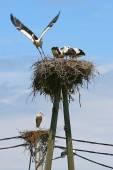 Two white stork nests — Stock Photo