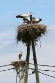 White storks in nests — Stockfoto
