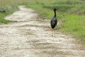 Black stork on field path — Zdjęcie stockowe