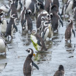 Large group of penguins — Stock Photo #66139133