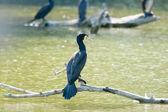 Cormorants in swamp — Foto de Stock