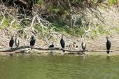 Cormorants on tree branch — Стоковое фото