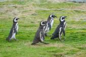 Four penguins walking — Foto de Stock