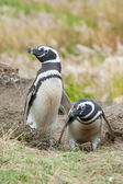 Front view of two penguins — Stock fotografie