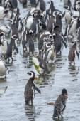 Gran grupo de pingüinos — Foto de Stock