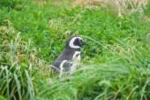 Penguin in high grass — ストック写真