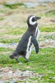 Penguin standing on field — ストック写真