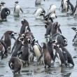 Penguins on shore — Stock Photo #66140679