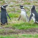 Three penguins on field — Stock Photo #66141645