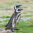 Two penguins in Chile — Stock Photo #66141833