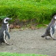 Two penguins walking on rustic road — Stock Photo #66142237