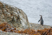 Penguin standing on pebble shore — Стоковое фото