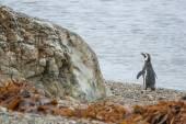 Penguin standing on pebble shore — ストック写真