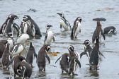 Penguins on shore in Chile — Zdjęcie stockowe