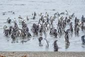 Penguins on shore in Punta Arenas — Foto de Stock