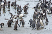 Penguins standing on shore in Chile — Zdjęcie stockowe