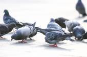 Pigeons eating crumbs — Foto de Stock