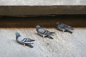 Pigeons on concrete — Foto de Stock