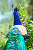 Rear view of blue peacock in nature — Stock fotografie