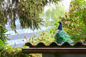 Rear view of blue peacock on roof — Stock Photo