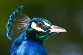 Side view of blue peacock — Stock fotografie