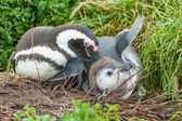 Two penguins on ground in Punta Arenas — Стоковое фото