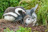 Two penguins on ground in Punta Arenas — Stock fotografie