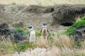 Two penguins standing on hilly field — Стоковое фото