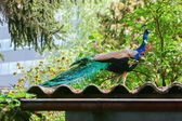 Blue peacock standing on roof — Stock Photo
