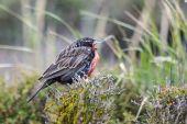 Long tailed meadowlark on a bush  — Stock Photo