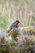 Long tailed meadowlark — Stock Photo