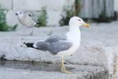 Seagull on concrete — Stock Photo