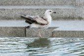 Seagull on water fountain — Stock Photo