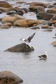 Seagulls in shoal — Stock Photo