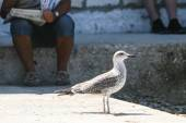 Side view of seagull standing on floor — Stock Photo