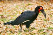 Southern ground hornbill — Stock Photo