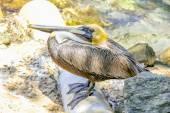Yellow head pelican — Stock Photo